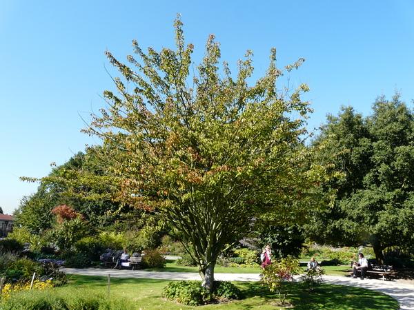 Acer grosseri Pax