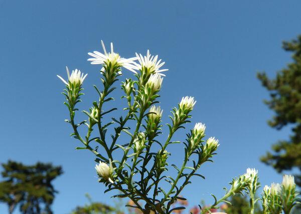 Symphyotrichum ericoides (L.) G.L.Nesom
