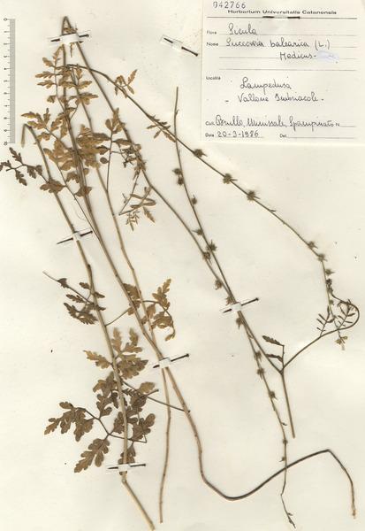 Succowia balearica (L.) Medik.