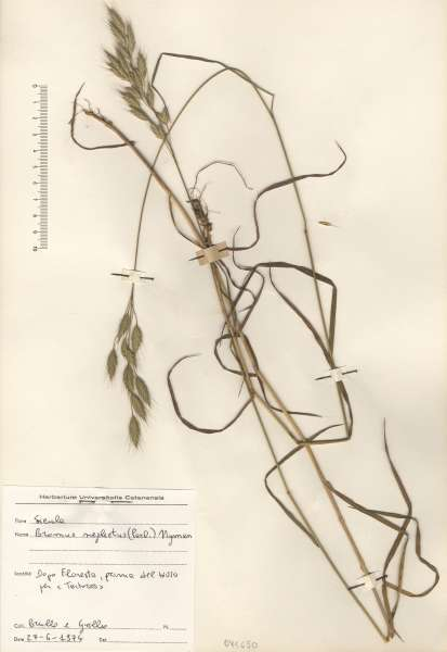Bromus commutatus Schrad. subsp. neglectus (Parl.) P.M.Sm.