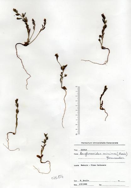 Buglossoides minima (Moris) R.Fern.