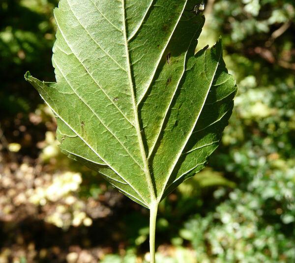 Acer tataricum L.