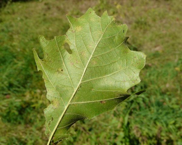 Quercus lyrata Walt.