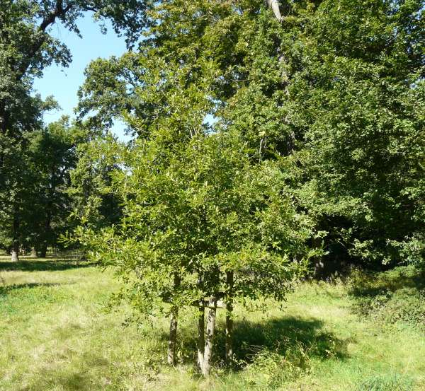 Quercus comptonae Sarg.