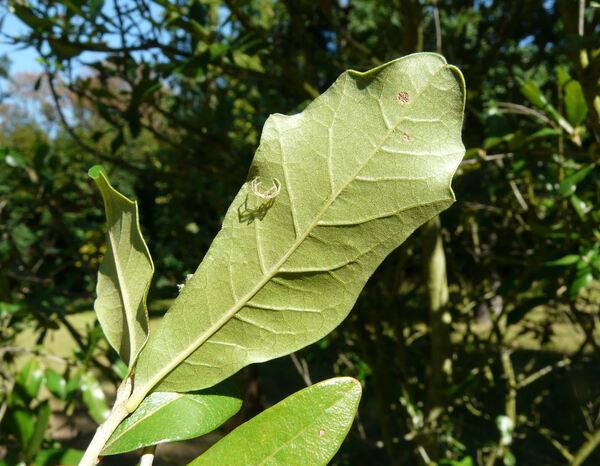 Quercus virginiana Miller