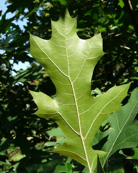 Quercus shumardii Buckley