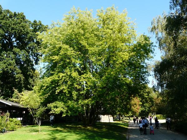 Acer saccharinum L. 'Pyramidale'