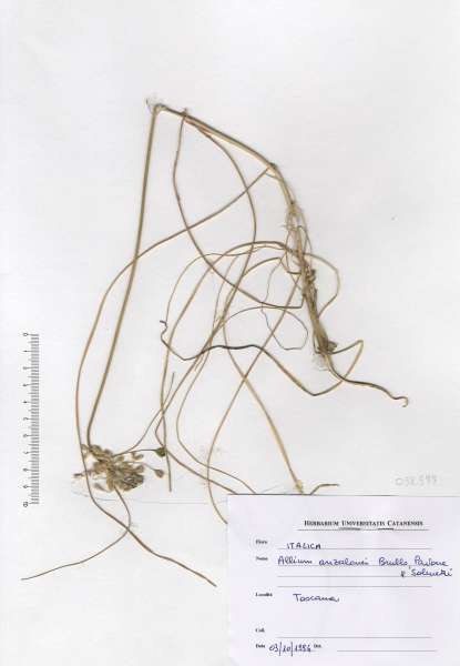 Allium anzalonei Brullo, Pavone & Salmeri