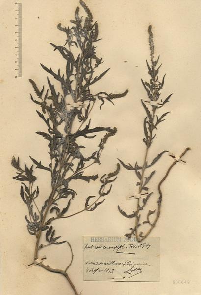 Ambrosia psilostachya DC.