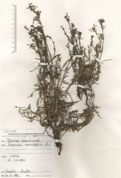 Asperula crassifolia L.