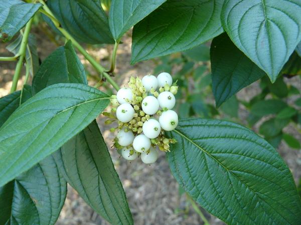 Cornus sericea L.