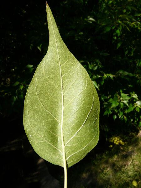 Maclura pomifera (Raf.) C.K.Schneid.