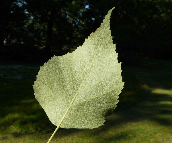 Betula forrestii (W. W. Sm.) Hand.-Mazz.