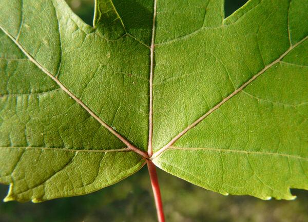 Acer x freemanii E. Murr.