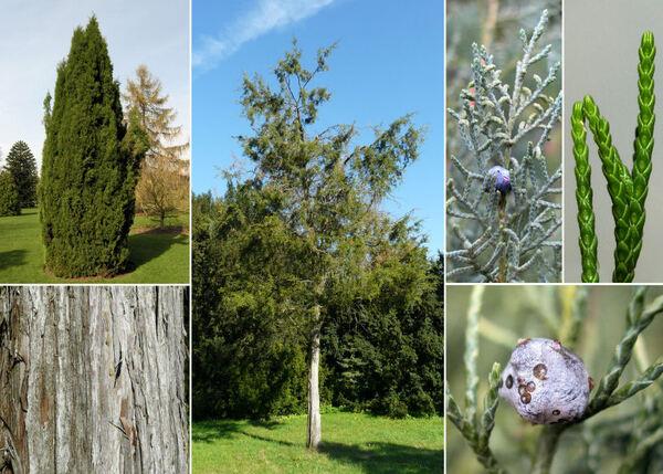 Juniperus virginiana L.