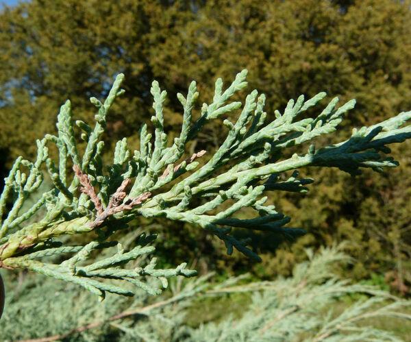 Juniperus chinensis L. 'Glauca'