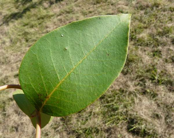 list of plants in the family Anacardiaceae  Genera