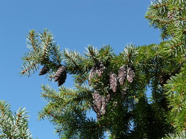 Picea omorika (Pančić) Purk.