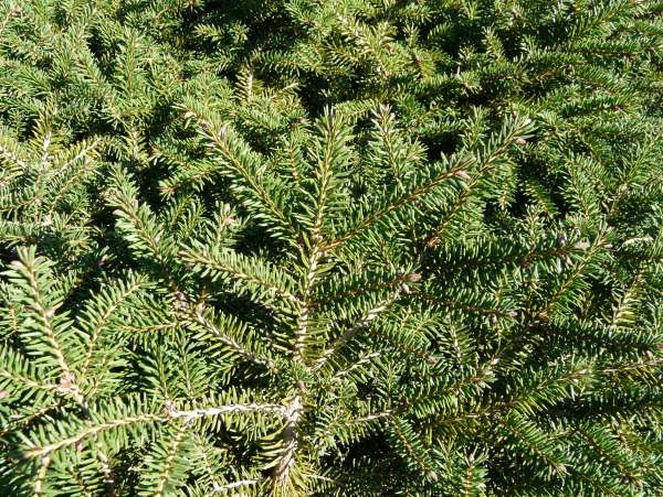 Picea obovata Ledeb. 'Nidiformis'