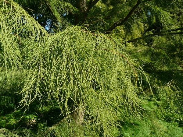 Taxodium ascendens Brongn. 'nutans'