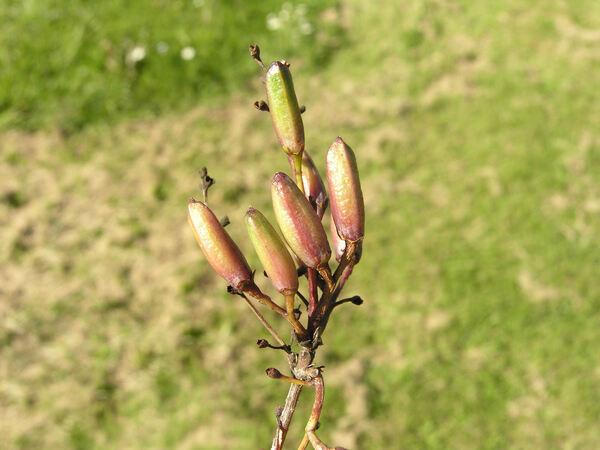 Syringa x diversifolia Rehder