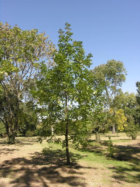 Fraxinus chinensis Roxb. subsp. rhynchophylla (Hance) A. E. Murray