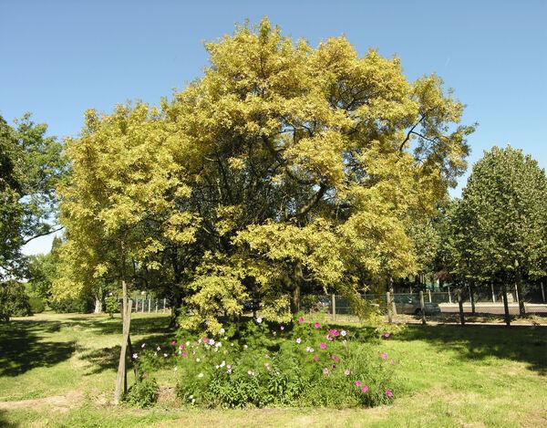 Fraxinus excelsior L. 'Aurea Pendula'