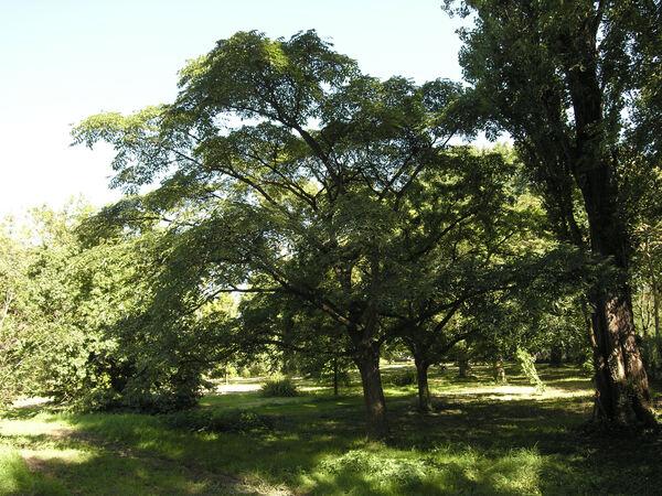 Phellodendron chinense C. K. Schneid.