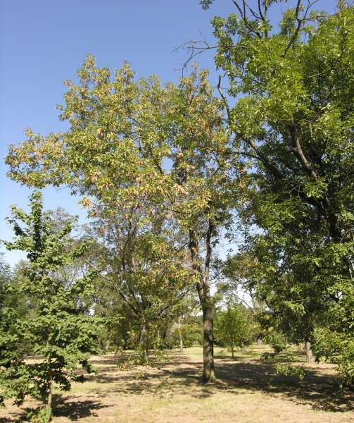 Fraxinus latifolia Benth.