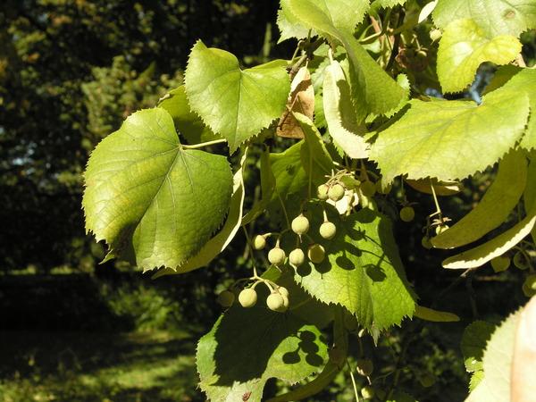 Tilia x petiolaris J.D. Hook.