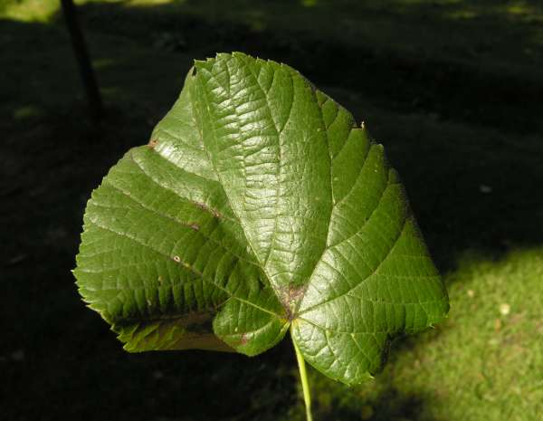 Tilia x carlsruhensis Simonk.