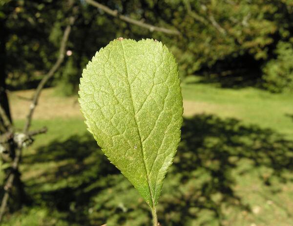 Prunus curdica Fenzl ex Fritsch