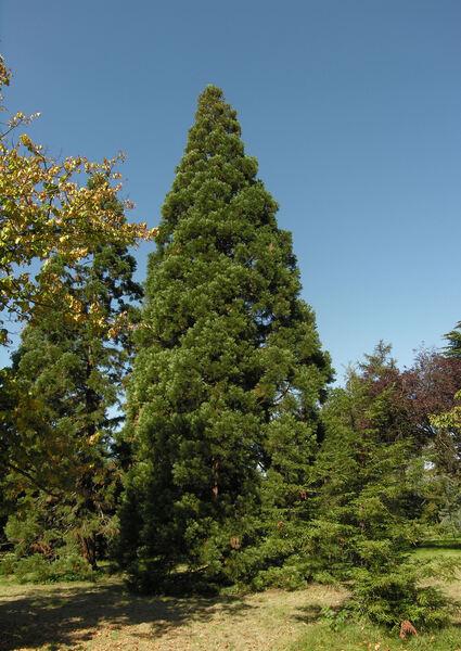 Sequoiadendron giganteum (Lindl.) J.Buchholz