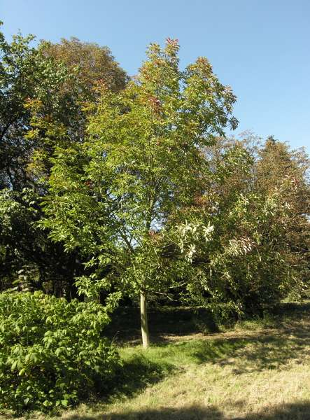 Aesculus glabra Willd.