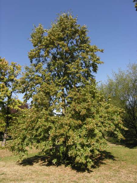 Tilia mongolica Maxim.
