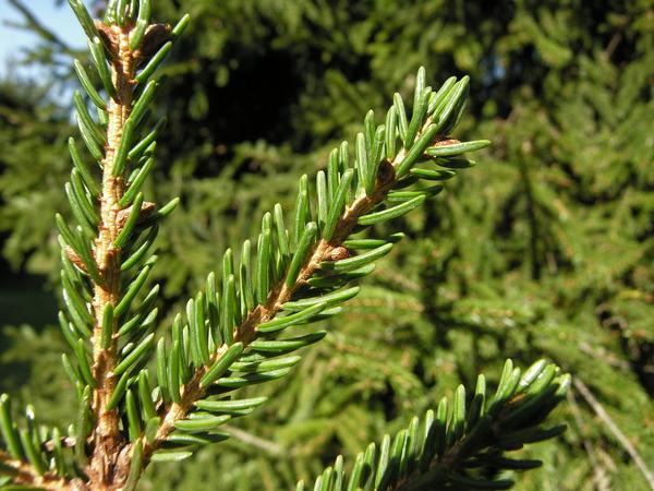 Picea orientalis (L.) Link