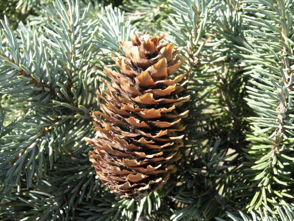 Picea pungens Engelm.