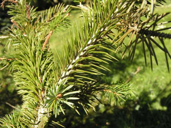 Picea sitchensis (Bong.) Carrière
