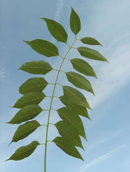 Ailanthus vilmoriniana Dode