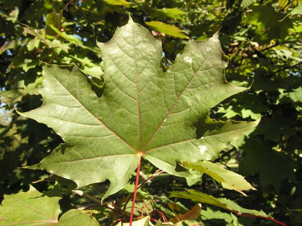 Acer platanoides L. 'Schwedleri'