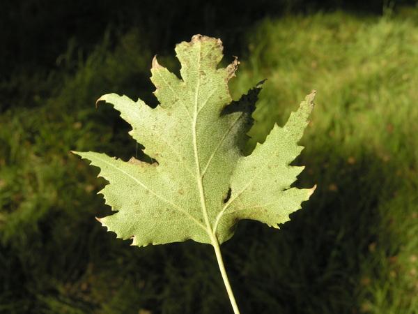 Betula pendula Roth 'Dalecarlica'
