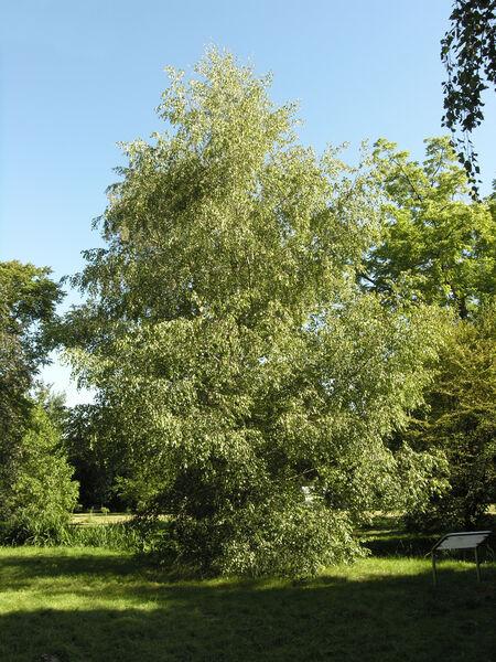 Betula populifolia Marshall