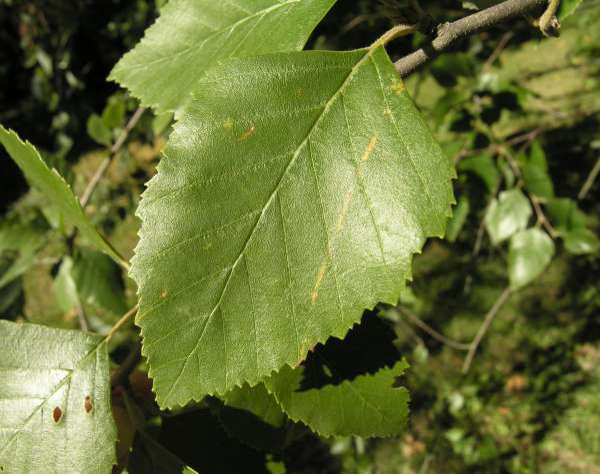 Betula nigra L.