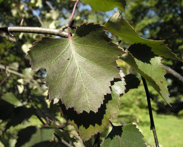 Betula pendula Roth 'Purpurea'