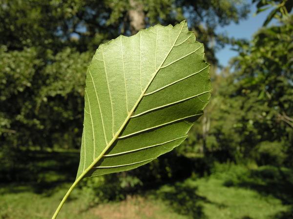 Alnus alnobetula (Ehrh.) K.Koch