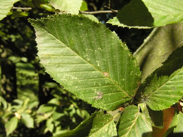 Carpinus betulus L. 'Fastigiata'