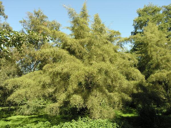 Alnus glutinosa (L.) Gaertn. 'Laciniata'