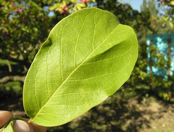 Magnolia acuminata (L.) L. var. subcordata (Spach) Dandy