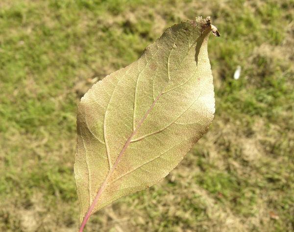 Malus floribunda Siebold ex Van Houtte 'Atrosanguinea'