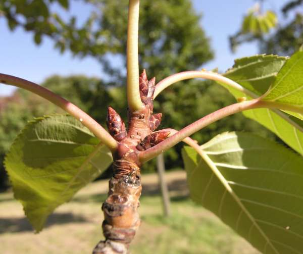 Prunus serrulata Lindl. 'Skyama'